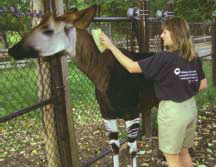 brushing an okapi